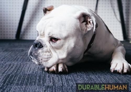 Grumpy Bulldog used with permission